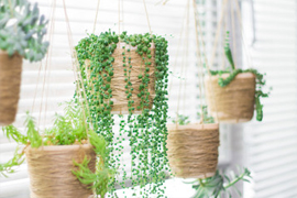 Plantes-retombantes